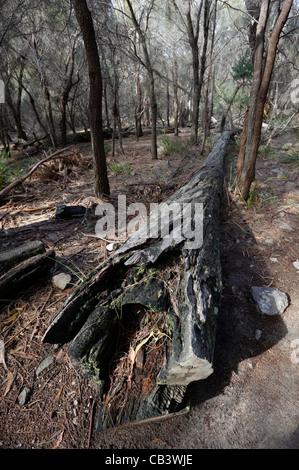 Arbre tombé en forêt, Coles Bay Conservation Area, Côte Est, Tasmanie, Australie