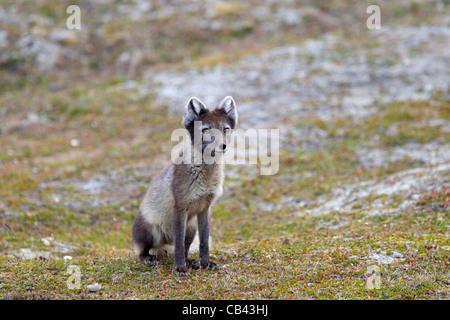 Portraits de renard arctique