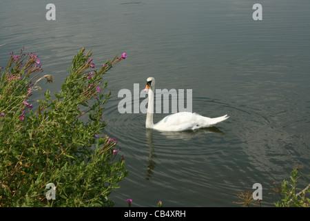 Cygne sur le lac blanc simple avec des fleurs sauvages en premier plan. - Berkshire Banque D'Images