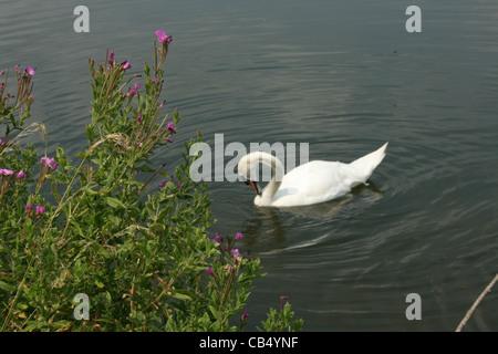 Cygne sur le lac blanc avec des fleurs sauvages en premier plan. Banque D'Images
