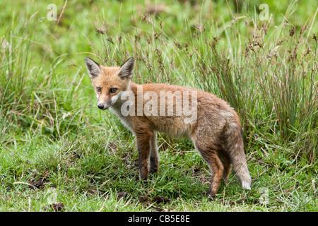 Un renard roux (Vulpes vulpes) cub dans l'herbe Banque D'Images