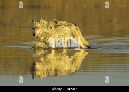 Loup gris marcher dans une rivière au coucher du soleil