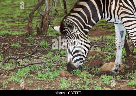 Plaines ou le zèbre de Burchell (Equus burchellii) pâturage dans le Parc National Kruger, Afrique du Sud. Banque D'Images