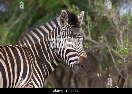 Portrait d'une plaine ou le zèbre de Burchell (Equus burchellii) dans le Parc National Kruger, Afrique du Sud. Banque D'Images