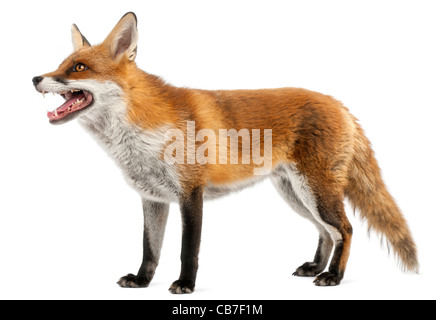 Le renard roux, Vulpes vulpes, 4 ans, in front of white background Banque D'Images