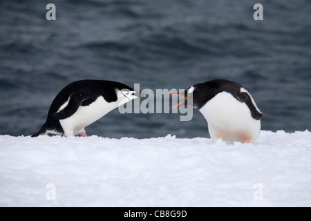 Jugulaire (Pygoscelis antarcticus) et Gentoo pingouin (Pygoscelis papua) combats dans la neige près de la mer, de Banque D'Images