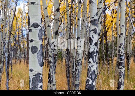 Libre de l'écorce du peuplier blanc des arbres dans un pré en automne au parc national des Montagnes Rocheuses au Colorado