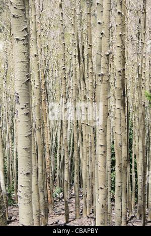 Vertical image du peuplier faux-tremble (Populus tremuloides) grove avec troncs nus Banque D'Images