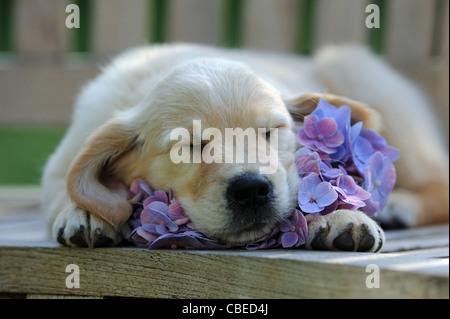Golden Retriever (Canis lupus familiaris). Chiot dormir sur un Hortensia bleu fleur. Banque D'Images