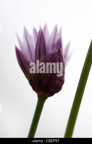 Allium schoenoprasum, ciboulette, fleur pourpre objet arrière-plan blanc. Banque D'Images