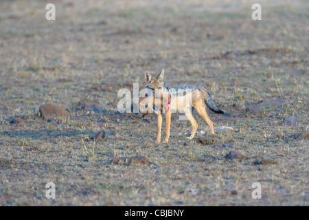 Le Chacal à dos noir, Canis mesomelas, porteur d'une carcasse de la Gazelle de Thomson. Le Masai Mara, au Kenya, Banque D'Images