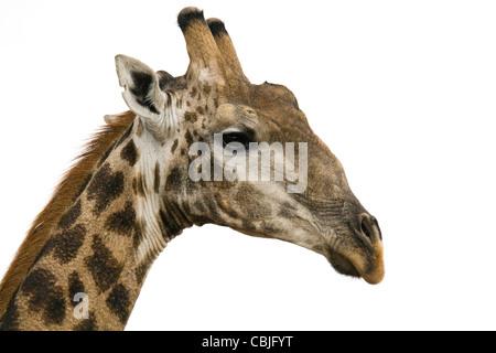 Une girafe photographié dans la Madikwe Game Reserve en Afrique du Sud Banque D'Images