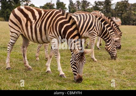 Royaume-uni, Angleterre, Bedfordshire, Woburn Safari Park, le zèbre de Chapman Equus quagga chapmani