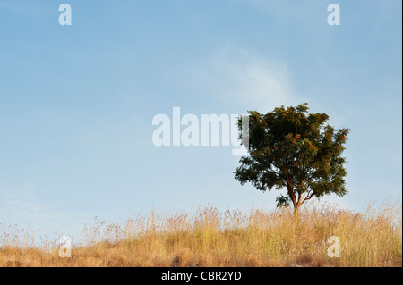 Arbre indien sur une colline parmi les herbes sèches dans la campagne indienne. L'Andhra Pradesh, Inde Banque D'Images