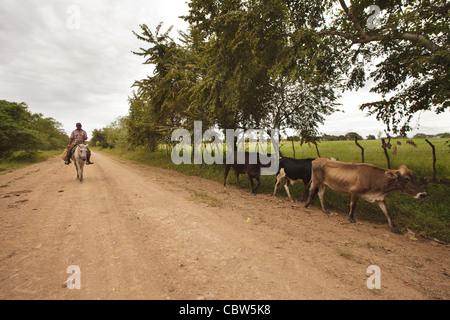 L'homme sur le cheval volant le bétail le long de la route près de Macanas marais de Herrera province, République Banque D'Images