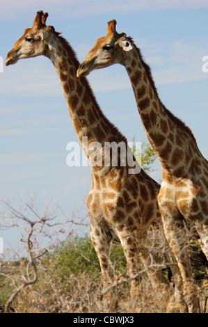 Deux girafes (Giraffa camelopardalis angolensis) dans le parc national d'Etosha, Namibie.
