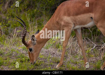 Bull 501 dans le Parc National Kruger, Afrique du Sud