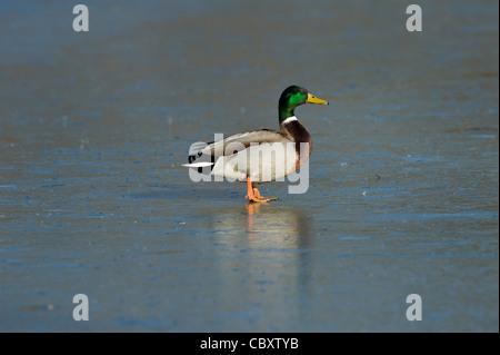 Canard colvert mâle sur une glaciale marsh Banque D'Images