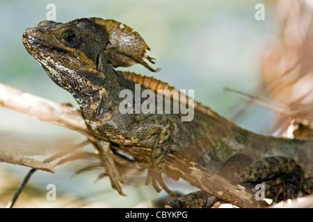 Basilisk Lizard - Wakodahatchee Wetlands - Delray Beach, Florida, USA Banque D'Images