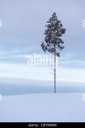 Lone Pine (Pinus sylvestris ) arbre sur le sommet d'une colline Banque D'Images