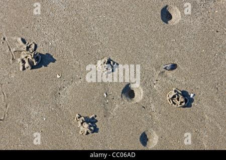 / Sandworm Lugworm européenne (Arenicola marina) jette des sédiments sur déféqué plage à marée basse le long de la côte de la mer du Nord