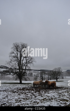 Deux vaches highland Perthshire manger dans un champ de foin. Le format Portrait avec un seul arbre au milieu de Banque D'Images