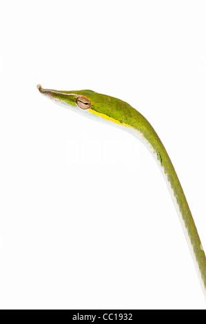 Ahaetulla nasuta . Serpent de vigne verte juvénile sur fond blanc Banque D'Images