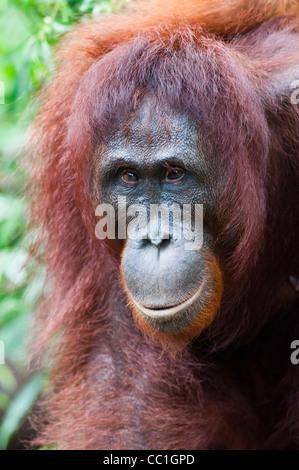 Une femelle orang-outan adultes strabisme avec erre autour du camp Leakey, parc national de Tanjung Puting, Kalimantan Banque D'Images