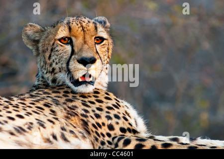 Close up d'un guépard en appui au coucher du soleil Banque D'Images