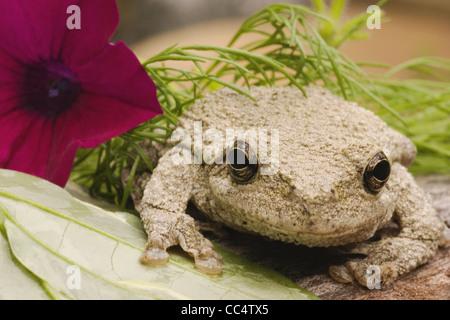 Rainette avec fleur Banque D'Images