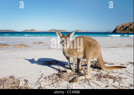 Kangaroo sur la plage, Lucky Bay, Cape Le Grand National Park, Australie occidentale, Australie Banque D'Images
