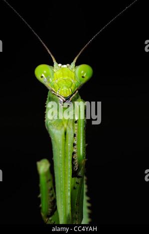 La mante religieuse (Stagmatoptera binotata) gros plan de la tête d'Iwokrama, Guyana, rainforest Banque D'Images
