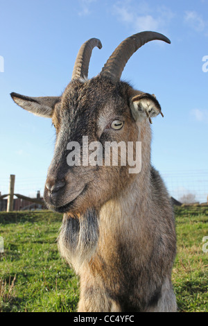 Billy Goat Banque D'Images