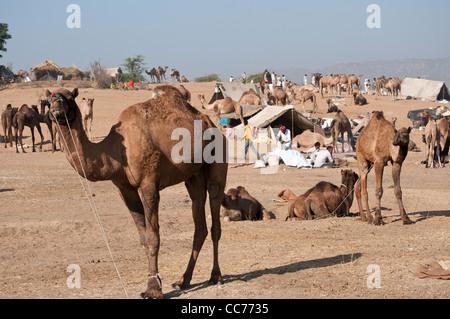 Foire de chameau, Pushkar, Rajasthan, India Banque D'Images