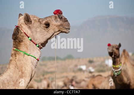 Les chameaux, Camel Fair, Pushkar, Rajasthan, India Banque D'Images