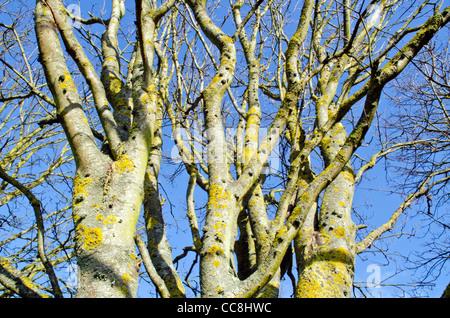 Recherche d'arbres sans feuilles à nu contre le ciel bleu en hiver au Royaume-Uni. Banque D'Images