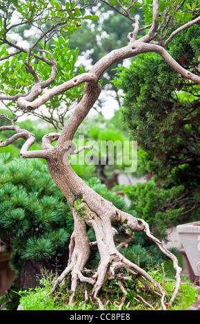 Bonsai arbre dans le jardin chinois, avec racines et branches torsadées Banque D'Images
