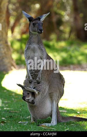 Une femelle kangourou avec un joey dans son sachet en Parc National de Yanchep, Australie occidentale, Australie. Banque D'Images