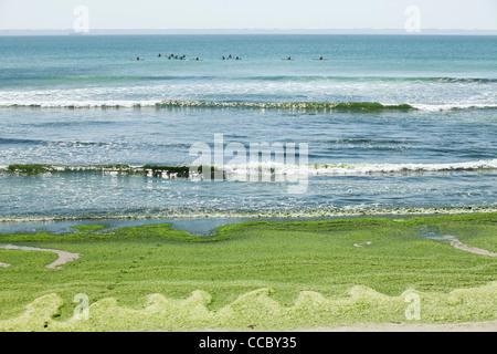 Les algues toxiques rejetés sur beach, Plage de Postolonnec, presqu'île de Crozon, FinistÅre, Bretagne, France Banque D'Images