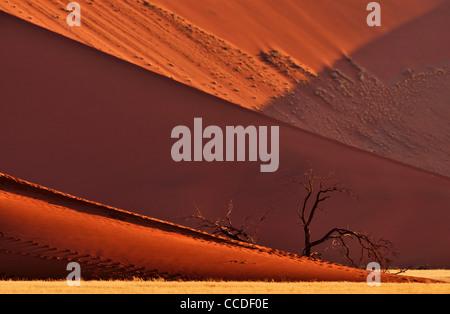 Arbres camelthorn morts ( Acacia erioloba) en face de dunes de sable rouge du Sossusvlei / Sossus Vlei dans le désert Banque D'Images