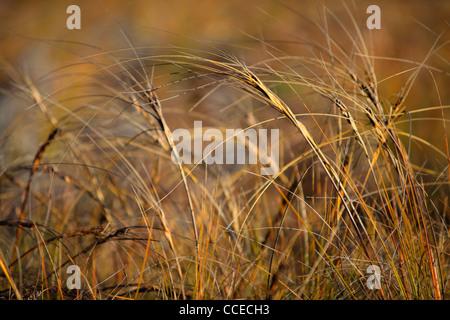La lumière de l'après-midi chaud d'herbes dans le col d'Arthur, Nouvelle-Zélande
