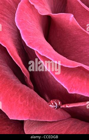 Seule goutte d'eau repose sur les pétales d'une rose rouge Banque D'Images
