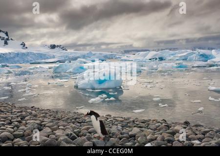 Gentoo pingouin (Pygoscelis papua) sur la plage, l'île de Cuverville, Péninsule Antarctique Banque D'Images