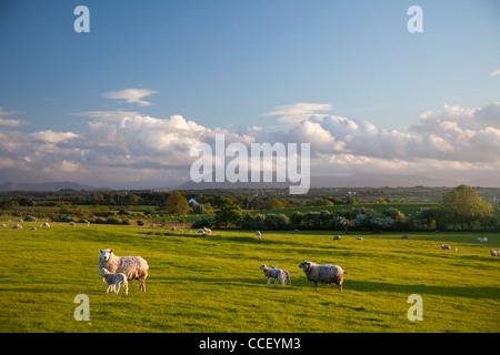 Le pâturage des moutons sous la montagne Nephin, Comté de Sligo, Irlande. Banque D'Images