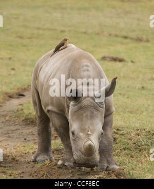 Afrique Kenya Le lac Nakuru Park-White veau national rhino avec Red-billed oxpecker sur retour (Ceratotherium simum) Banque D'Images
