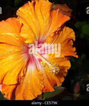 Fleur d'Hibiscus en spectacle parfait état. La pièce gagnante avec des pétales lumineux orange Banque D'Images