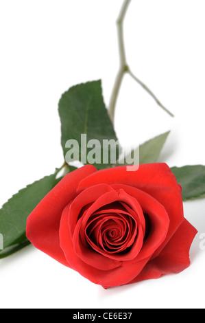 Rose rouge il est isolé. Se trouve sur un fond blanc Banque D'Images