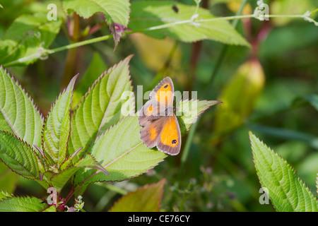Pyronia tithonus Papillon (gatekeeper) perché sur une feuille Banque D'Images