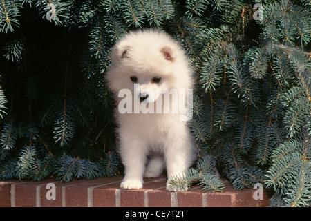 American Eskimo Dog-puppy sitting sur mur de brique