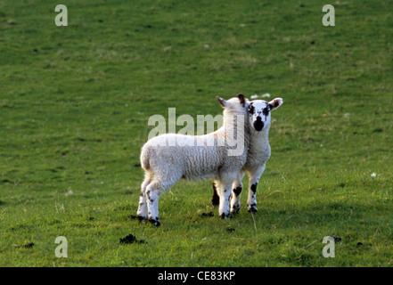 Nuzzle agneaux dans un pré, à Innerleithen, près de Traquair, dans la vallée de Tweed de l'Ecosse, Royaume-Uni Banque D'Images